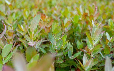 Protocolo de cedência de plantas de eucalipto